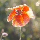Early Morning Poppy by Eva & Klaus WW
