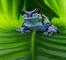 Amazon milk frog by Angi Wallace
