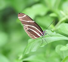 Zebra Longwing by Jeff VanDyke