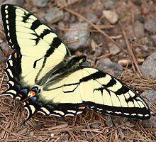 Tiger Swallowtail by Jeff VanDyke