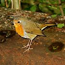 Robin by Luci Mahon