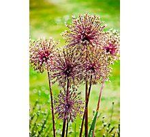 Allium flowers Photographic Print