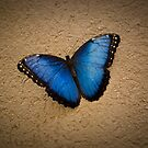 Common Blue Morpho by Charles Dobbs Photography