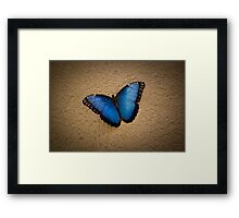 Common Blue Morpho Framed Print