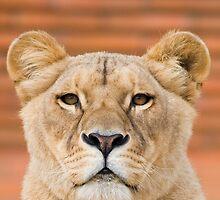 Lioness by André Gonçalves