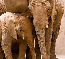 African Elephant by André Gonçalves