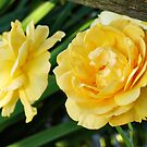 Yellow roses by midnightowl