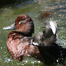 Cinnamon Teal bathing.. by RichImage