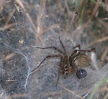 funnel web spider with toy by jude walton