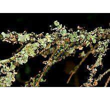 Fir Tree Lichen Photographic Print