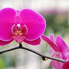Bright Pink Orchid by Kathleen Brant