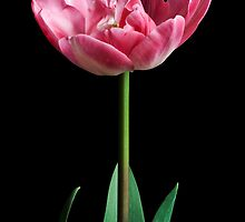 Upstar Tulip by prbimages