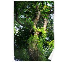 Rainforest Fig Tree Poster