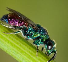 Chrysidid  Wasp by André Gonçalves