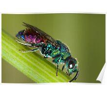 Chrysidid  Wasp Poster