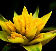 Yellow Bromeliad by Alison Cornford-Matheson