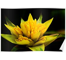 Yellow Bromeliad Poster
