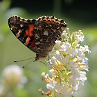 Painted lady butterfly on butterfly bush by Alice Kahn