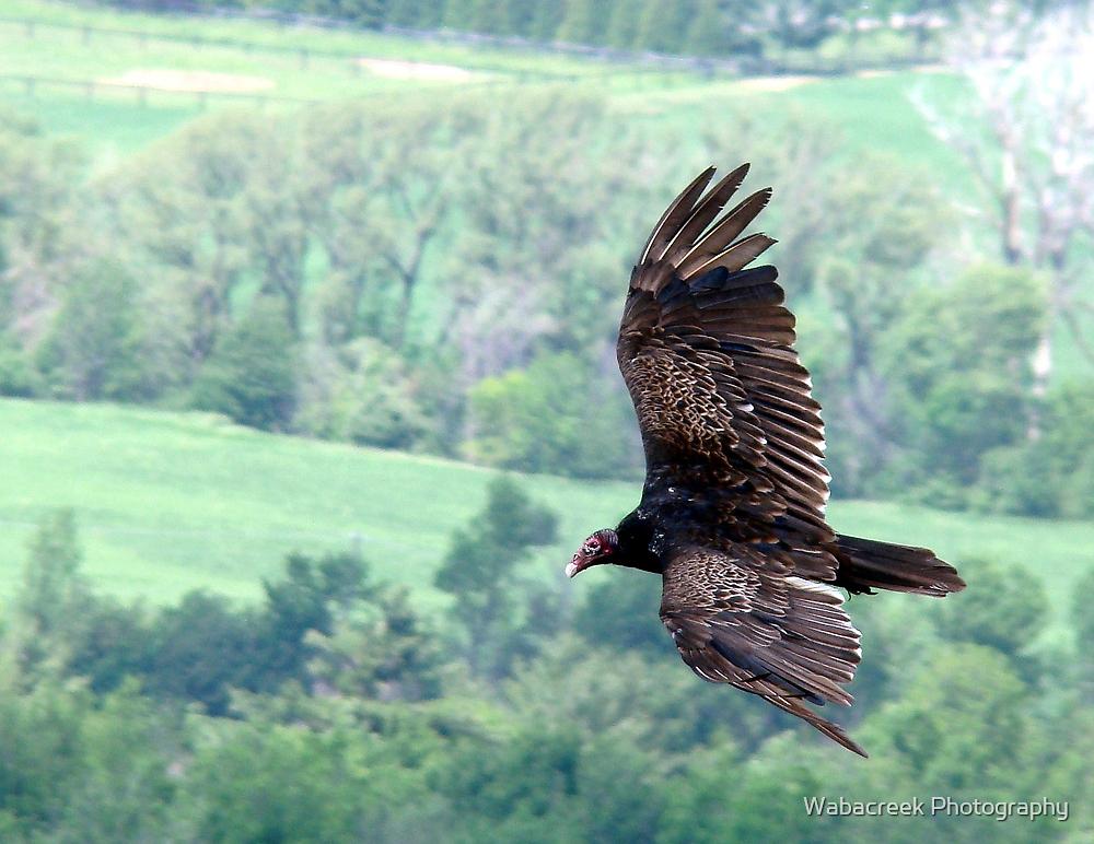 Turkey Vulture by Wabacreek Photography