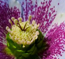 Hellebore Flower Head Sticker