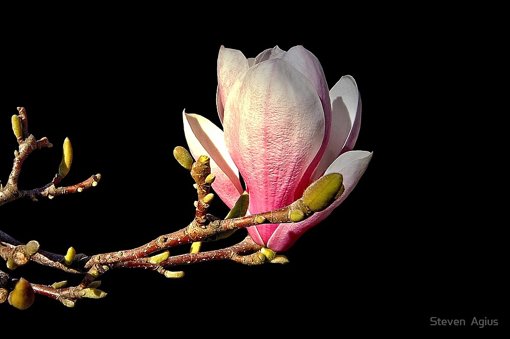 Magnolia [ Soulangeana ] by Steven  Agius