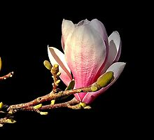Magnolia [ Soulangeana ] by Steven  Agius