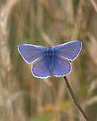 Male Comon Blue by Neil Bygrave (NATURELENS)