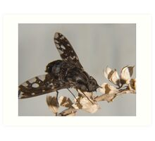 tiger bee fly (anthrax tigrinus) Art Print