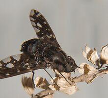tiger bee fly (anthrax tigrinus) by jude walton