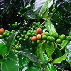 Costa Rica Highland Coffee, still green by Guy Tschiderer