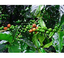 Costa Rica Highland Coffee, still green Photographic Print