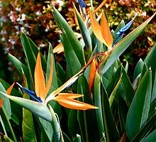 Birds of Paradise by lexphoto