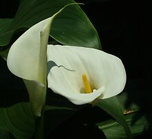 Calla Lily by Janelle Austin
