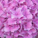 Pink Hydrangea by Marcia Plante