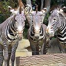 zebras by Sheila McCrea