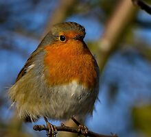 Robin in winter sunshine by Violaman