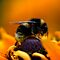 August avatar challenge - Bee or Wasp with bokeh!