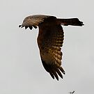Hawk prowling by Duncan Drummond