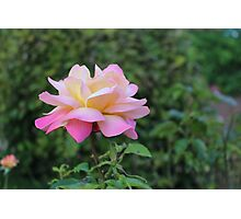 Beautiful rose Photographic Print