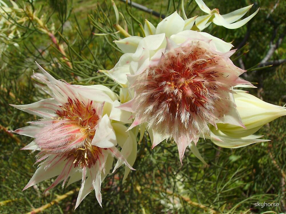 Serruria Florida - Blushing Bride by skyhorse