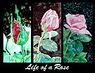 Life of a Rose by Jim Phillips