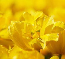Golden tulips by Mirka Rueda Rodriguez