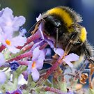 Bumble bee on a Buddleia flower  by Shaun Whiteman