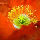 Icelandic Poppy by KerrySlade