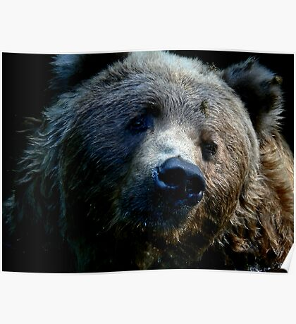 KODIAK   BEAR   CLOSE UP Poster