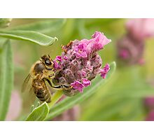 A Busy Bee Photographic Print