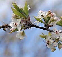 Bee with Manchurian Pear by Rod Brunker