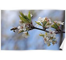 Bee with Manchurian Pear Poster