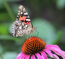 Painted Lady Butterfly on Echinacea by hummingbirds