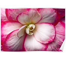 White and Pink Begonia Poster